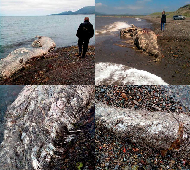 Mysterious Russian Sea Creature Most Likely A Beaked Whale 2 Image Credit The Siberian Times