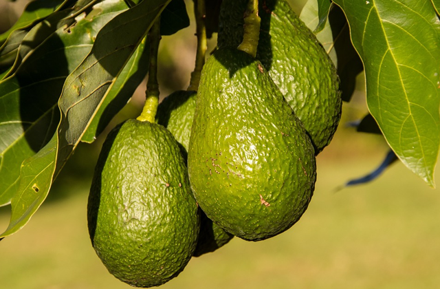 Kiwi Guacamole A Recipe for the Great Avocado Theft in New Zealand