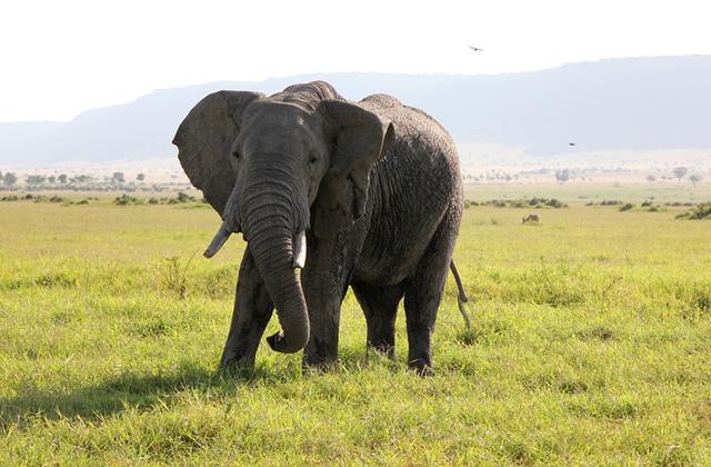 Speared Elephant Seeks Human Help
