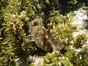 Sea Hare Underwater
