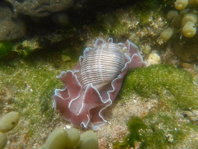 Nudibranch; Striped Paper Bubble
